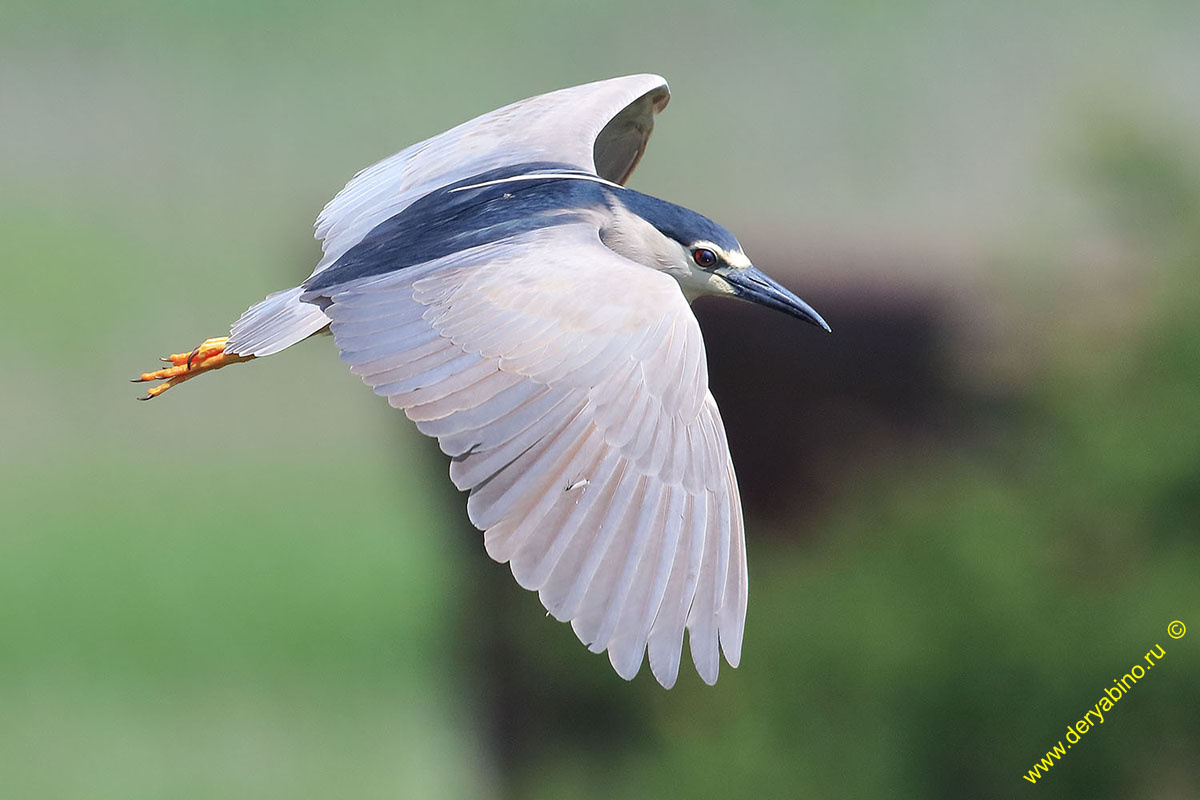 Кваква обыкновенная Nycticorax nycticorax Black-crowned night heron