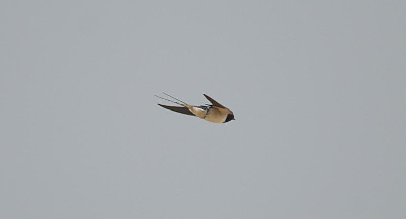 Ласточка деревенская Hirundo rustica Barn Swallow