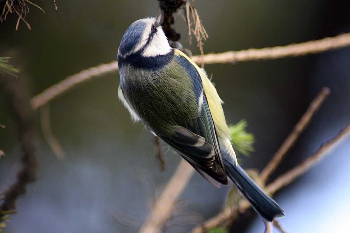 Лазоревка Parus caeruleus Blue Tit
