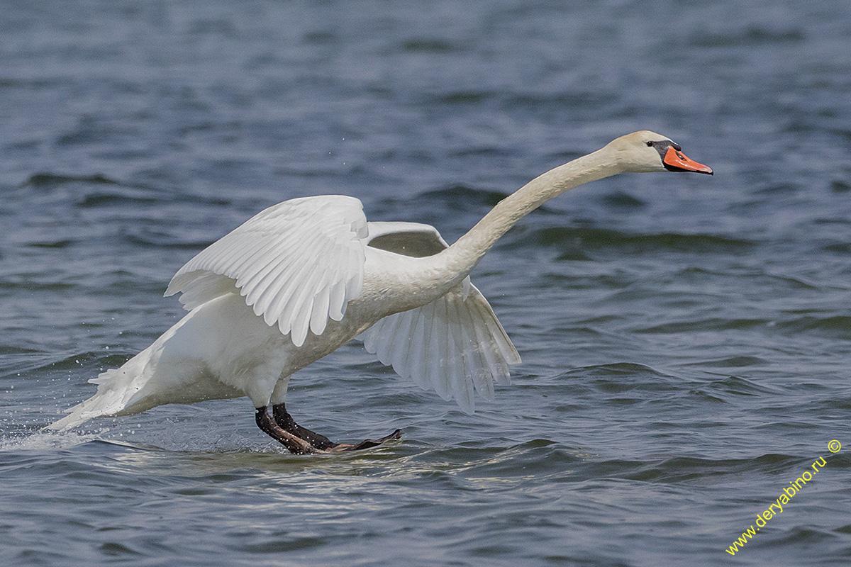 Лебедь-шипун Cygnus olor Mute Swan