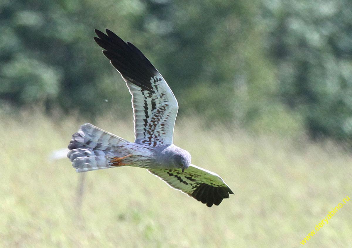 Луговой лунь Circus pygargus Montagu's Harrier