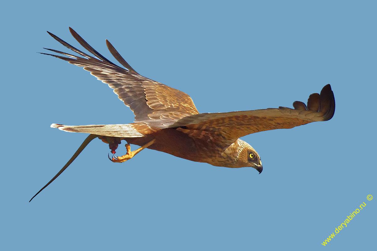 Болотный лунь Circus aeruginosus Western Marsh Harrier