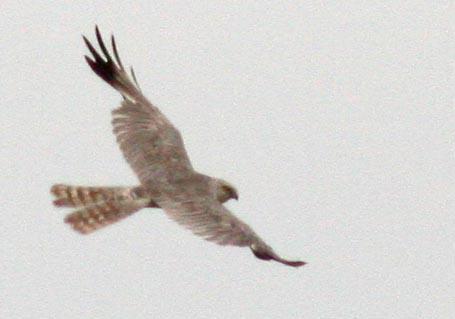 Степной лунь Circus macrourus Pallid Harrier