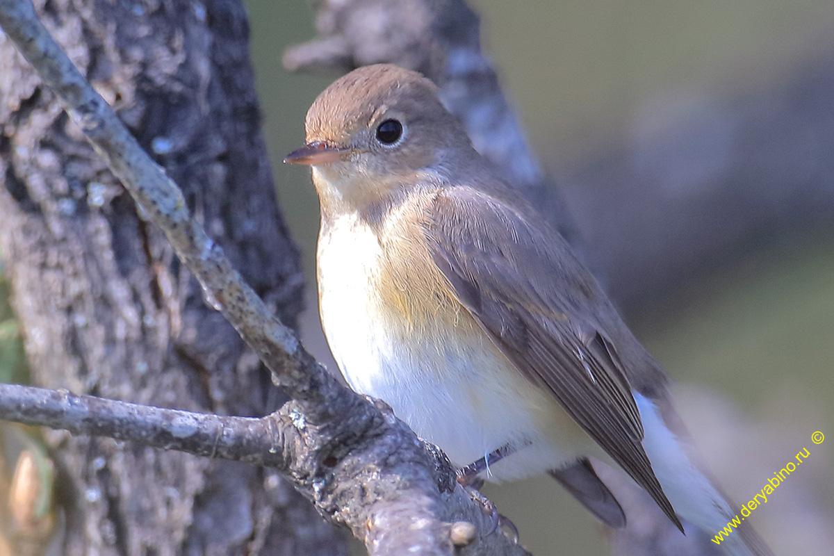 Малая мухоловка Ficedula pavra Red-breasted Flycatcher