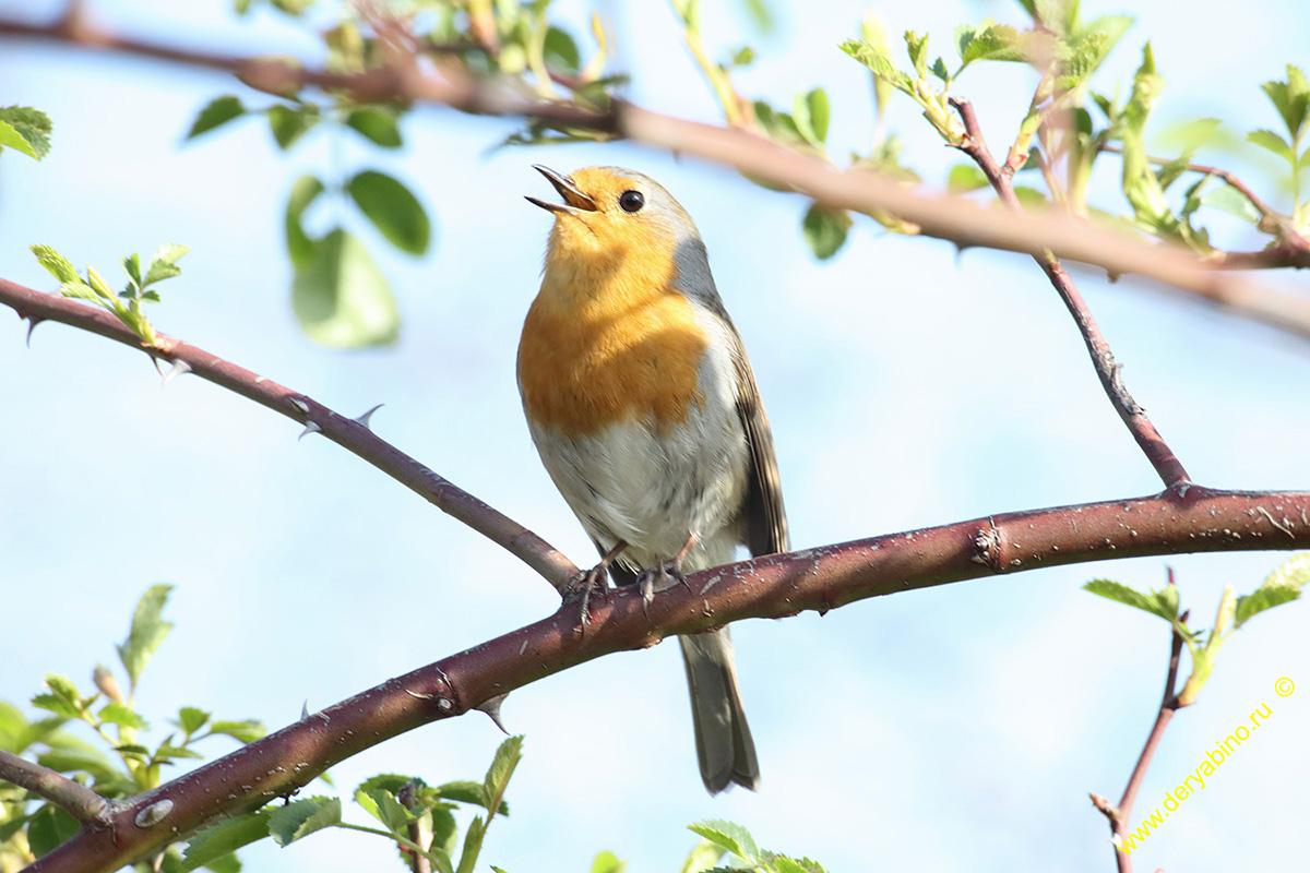 Малиновка (зарянка) Erithacus rubecula European Robin