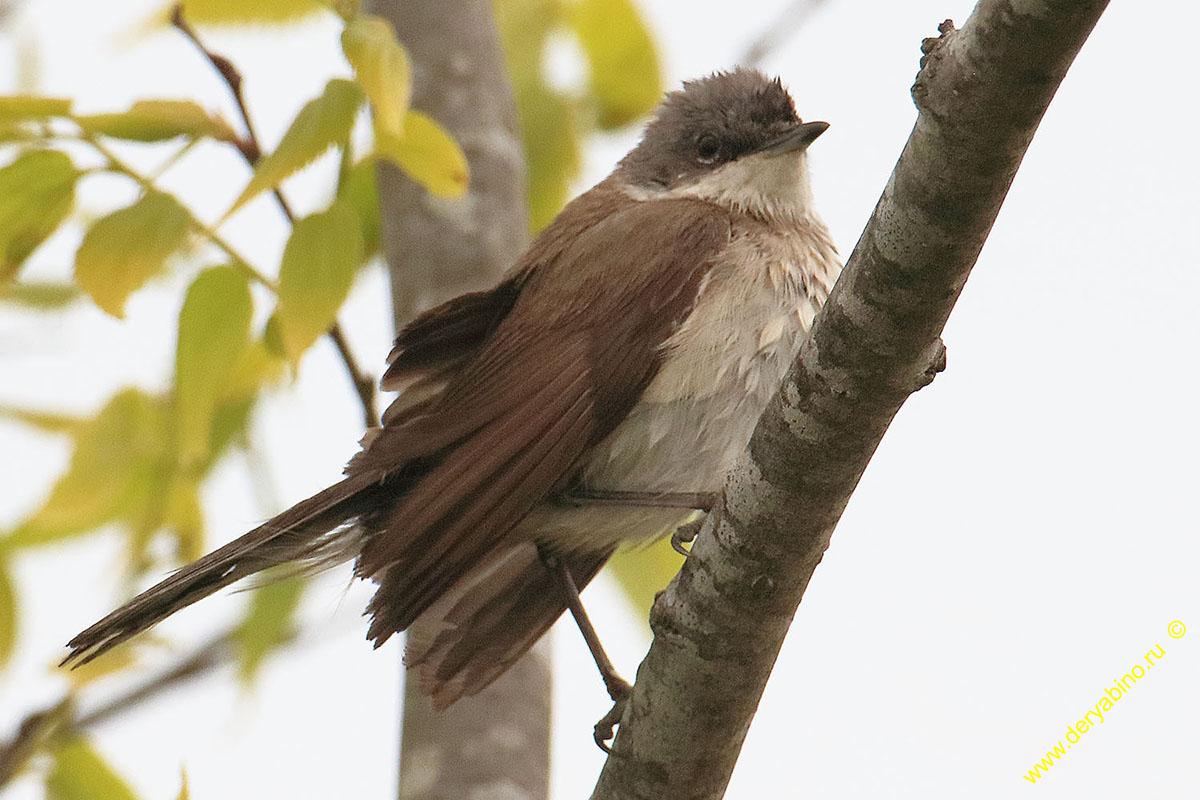 Мельничек (Славка-завирушка) Sylvia curruca Lesser Whitethroat