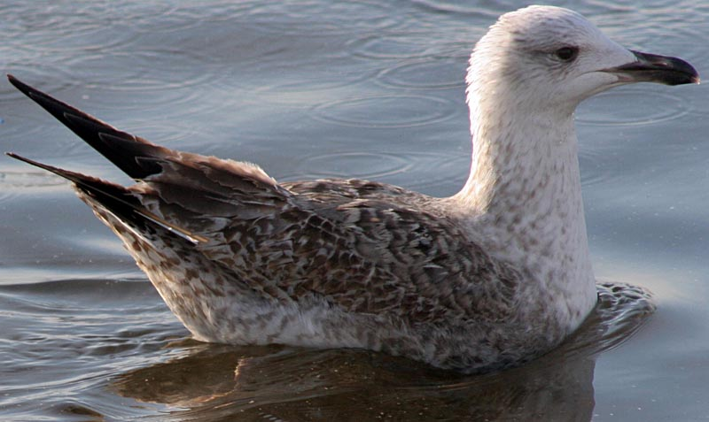 Морская чайка Larus marinus Great Black-backed Gull