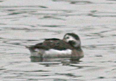 Морянка Clangula hyemalis Long-Tailed Duck