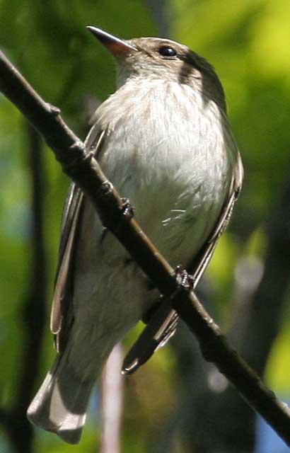 Мухоловка пеструшка Ficedula hypoleuca Pied Flycatcher