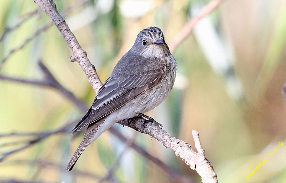 Мухоловка серая Muscicapa striata Spotted Flycatcher