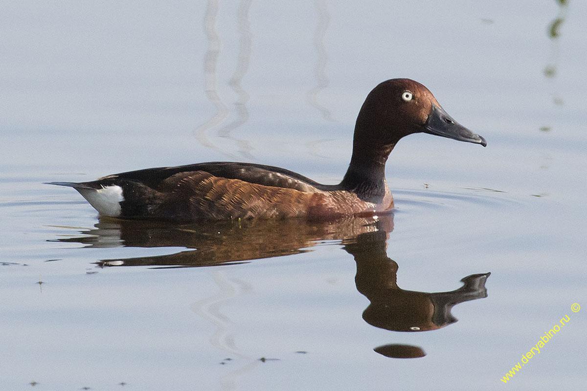Белоглазый нырок Aythya nyroca Ferruginous duck