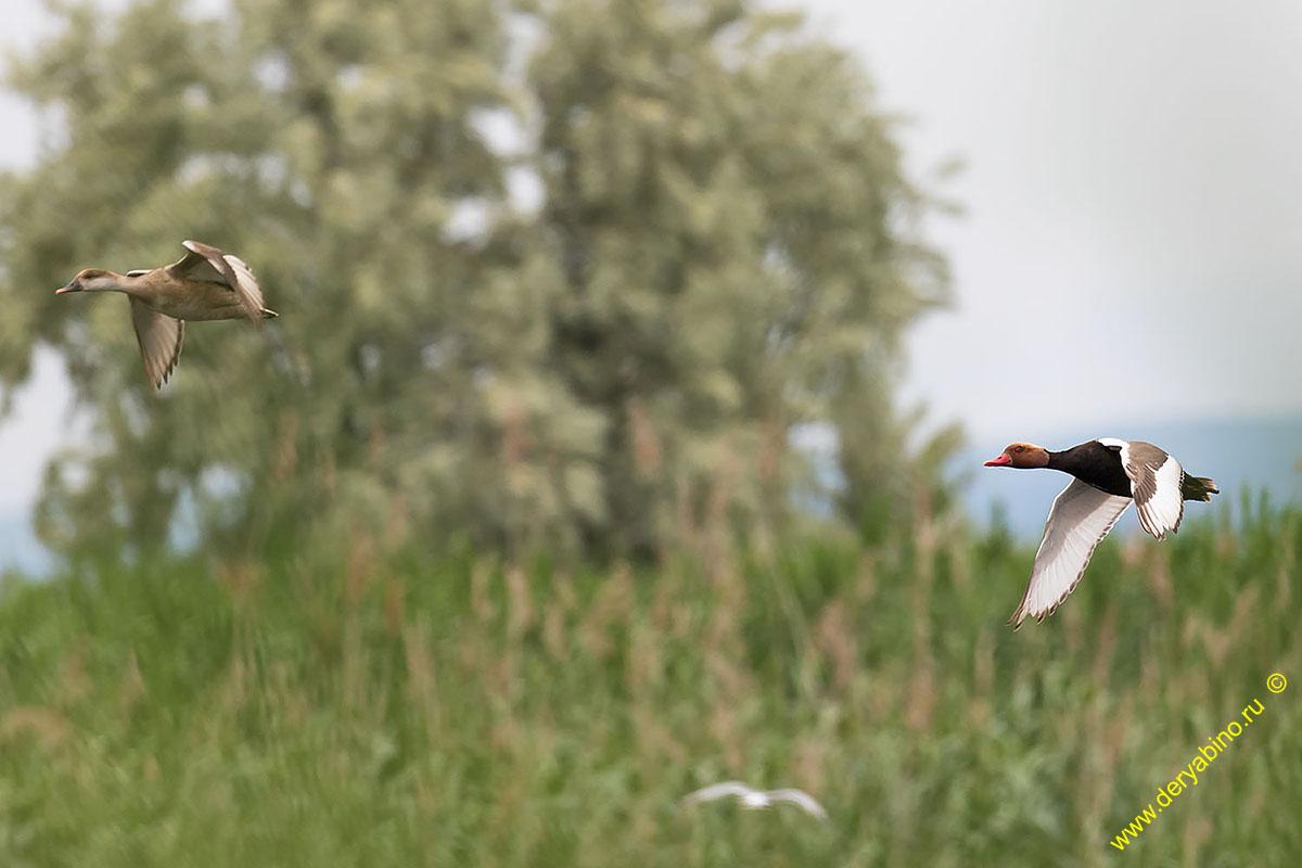 Красноносый нырок Netta rufina Red-crested Pochard