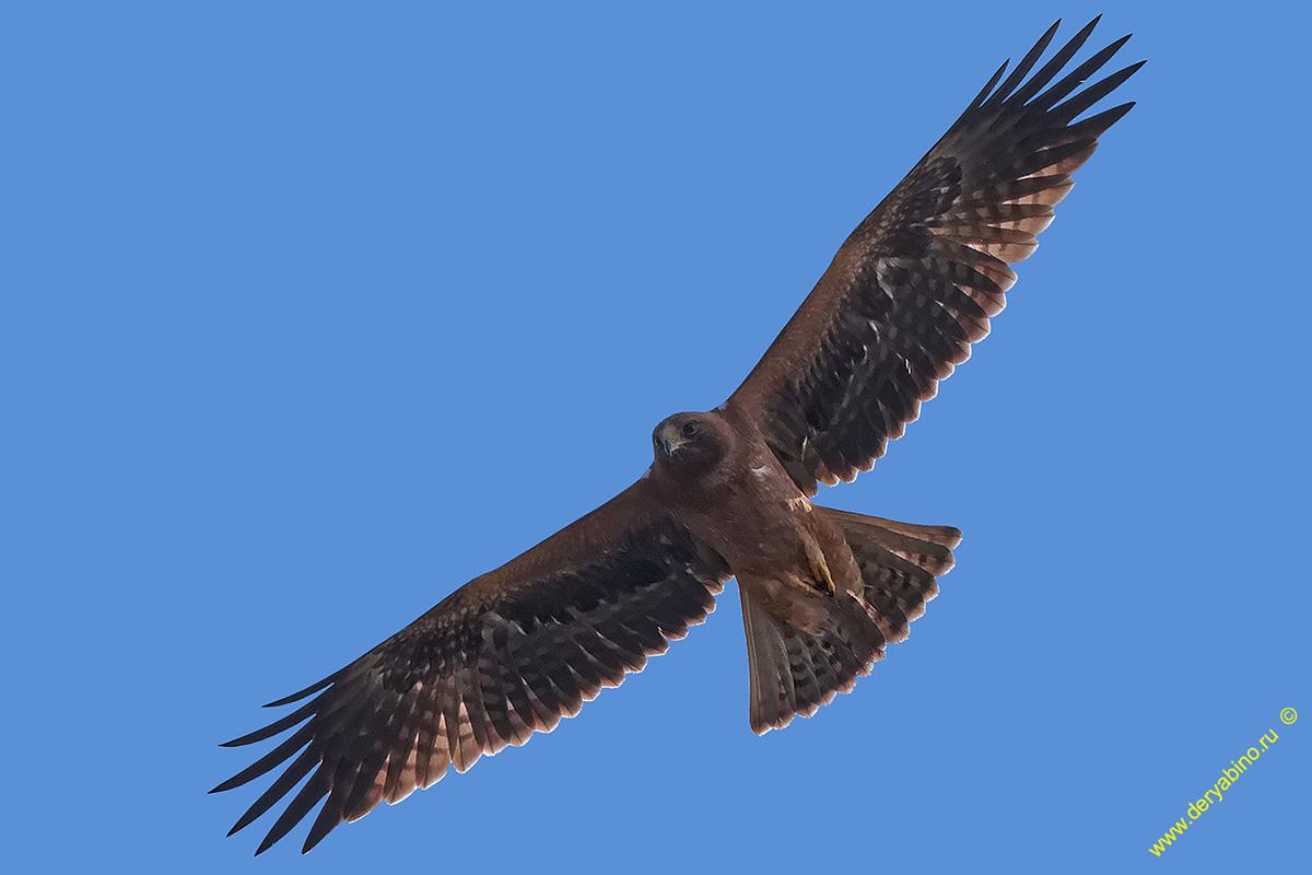 Орел-карлик Hieraaetus pennatus Booted Eagle