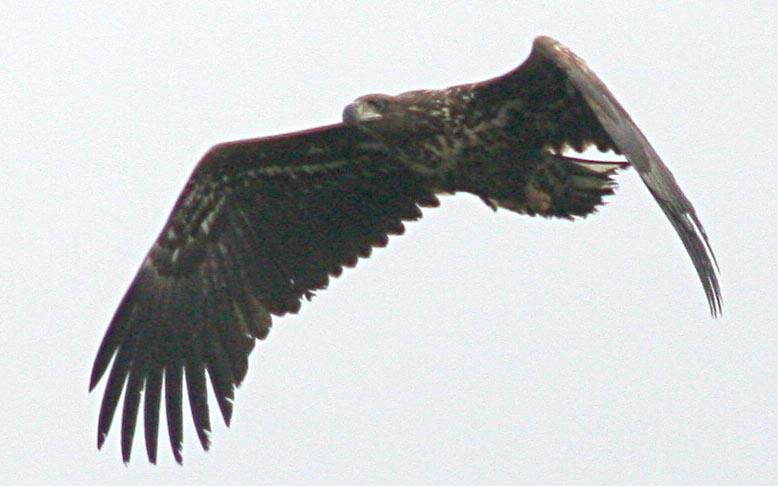 Орлан-белохвост Haliaeetus albicilla White-tailed Sea Eagle
