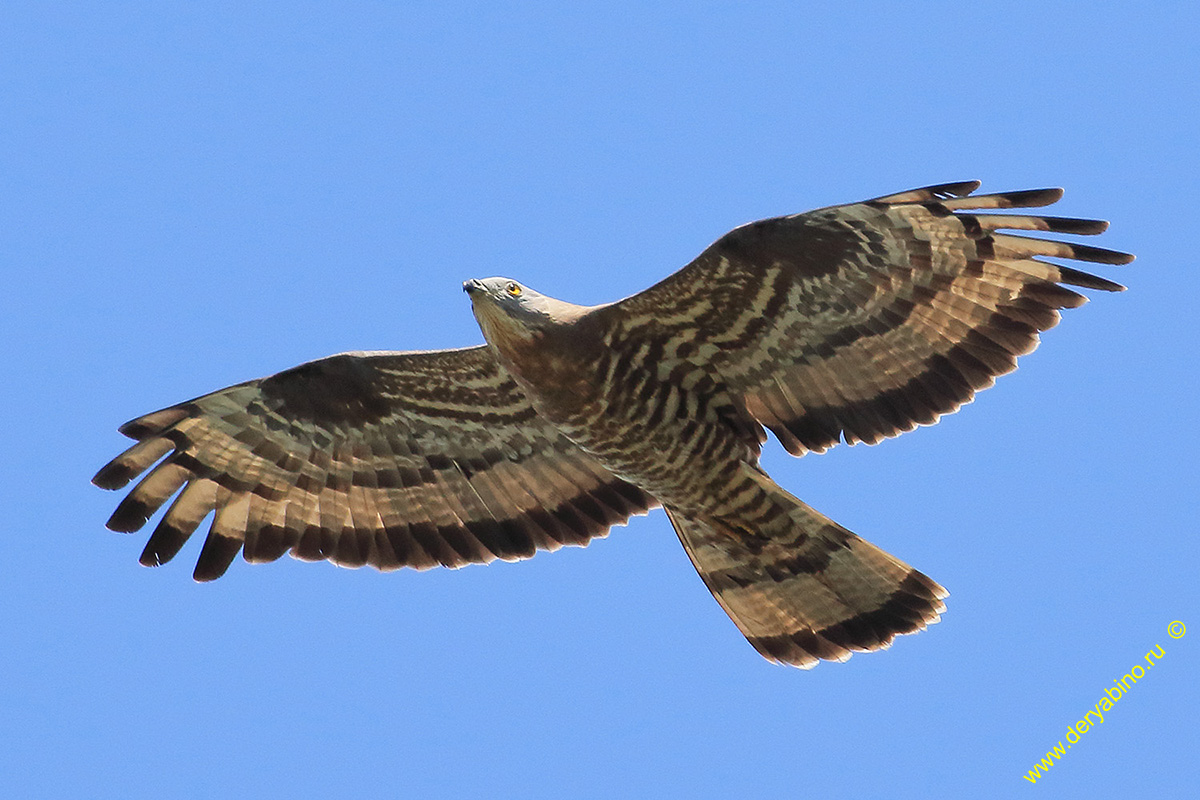 Осоед Pernis apivorus European Honey-buzzard