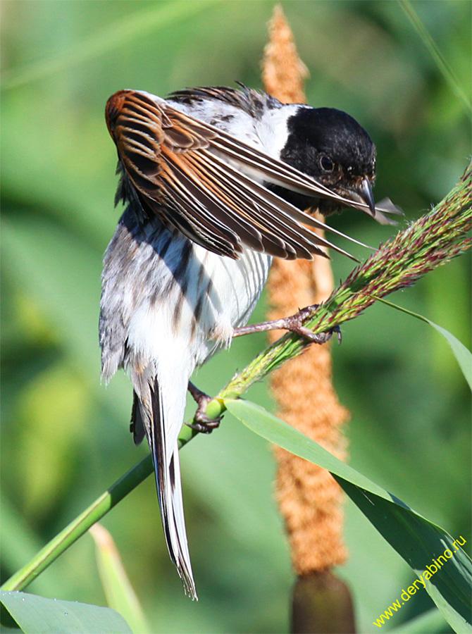 Овсянка камышовая (тростниковая) Emberiza schoeniclus Reed Bunting