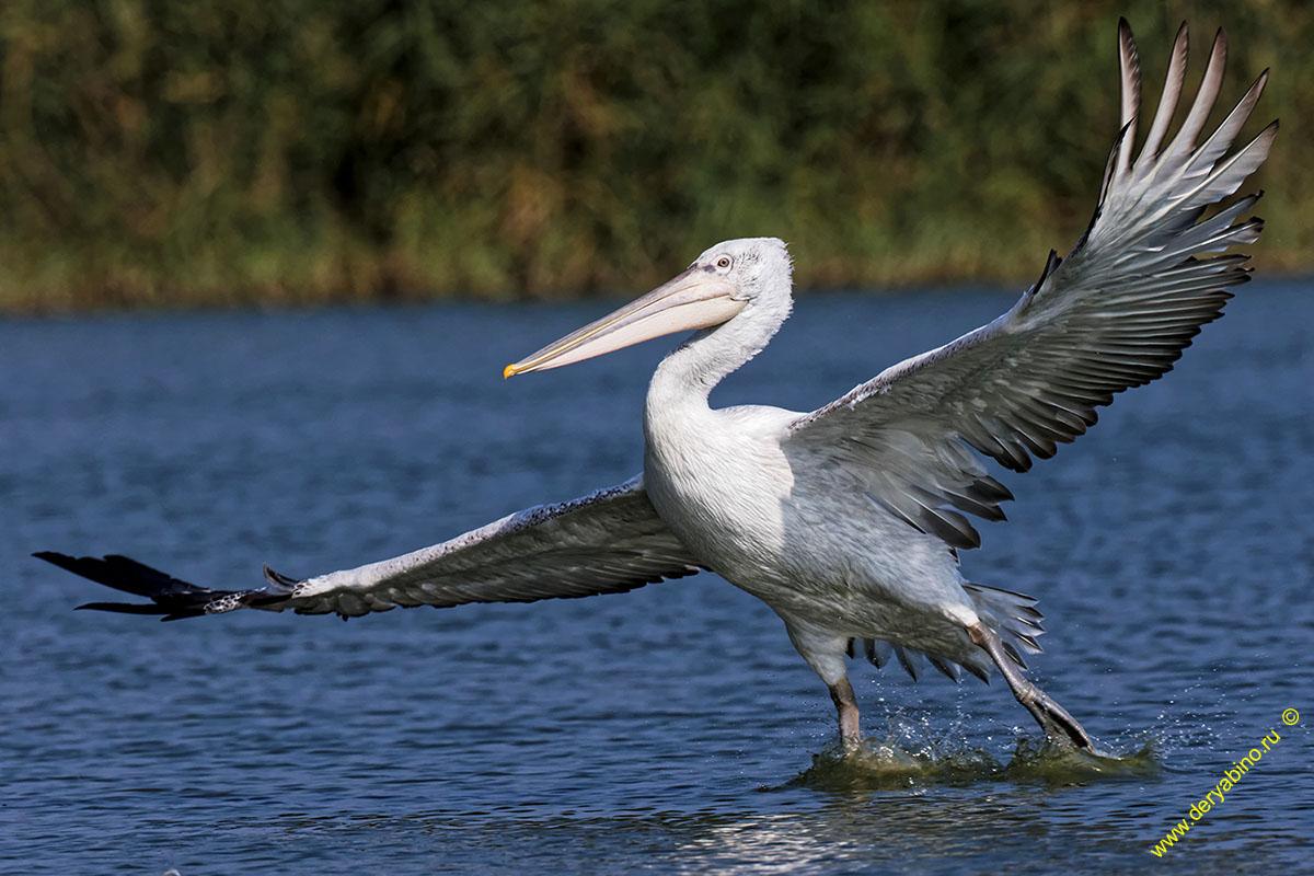 Кудрявый пеликан Pelecanus crispus Dalmatian pelican