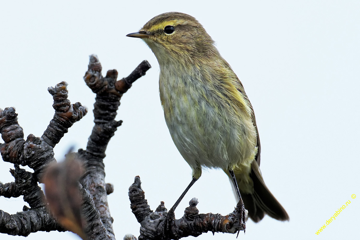 Пеночка-теньковка Phylloscopus collybita Common Chiffchaff