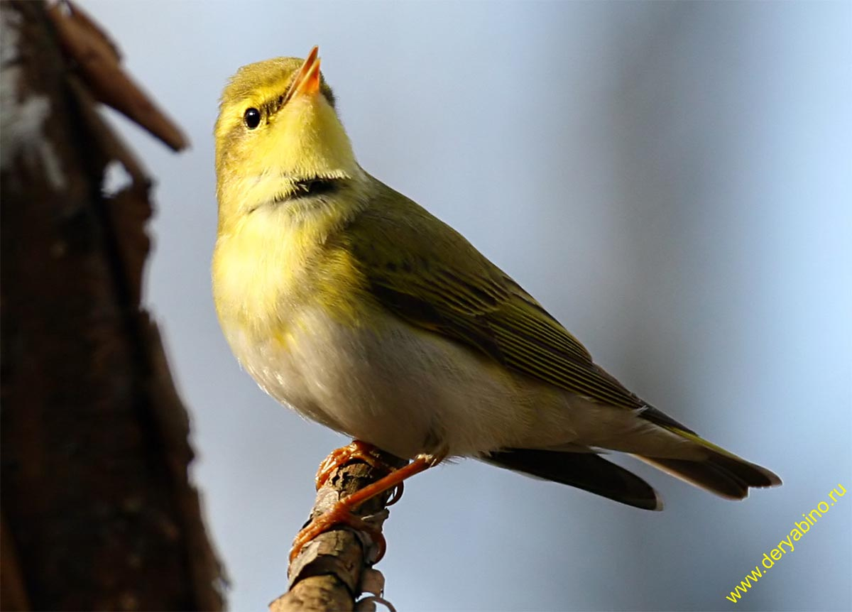 Пеночка-трещётка Phylloscopus sibilatrix Wood Warbler