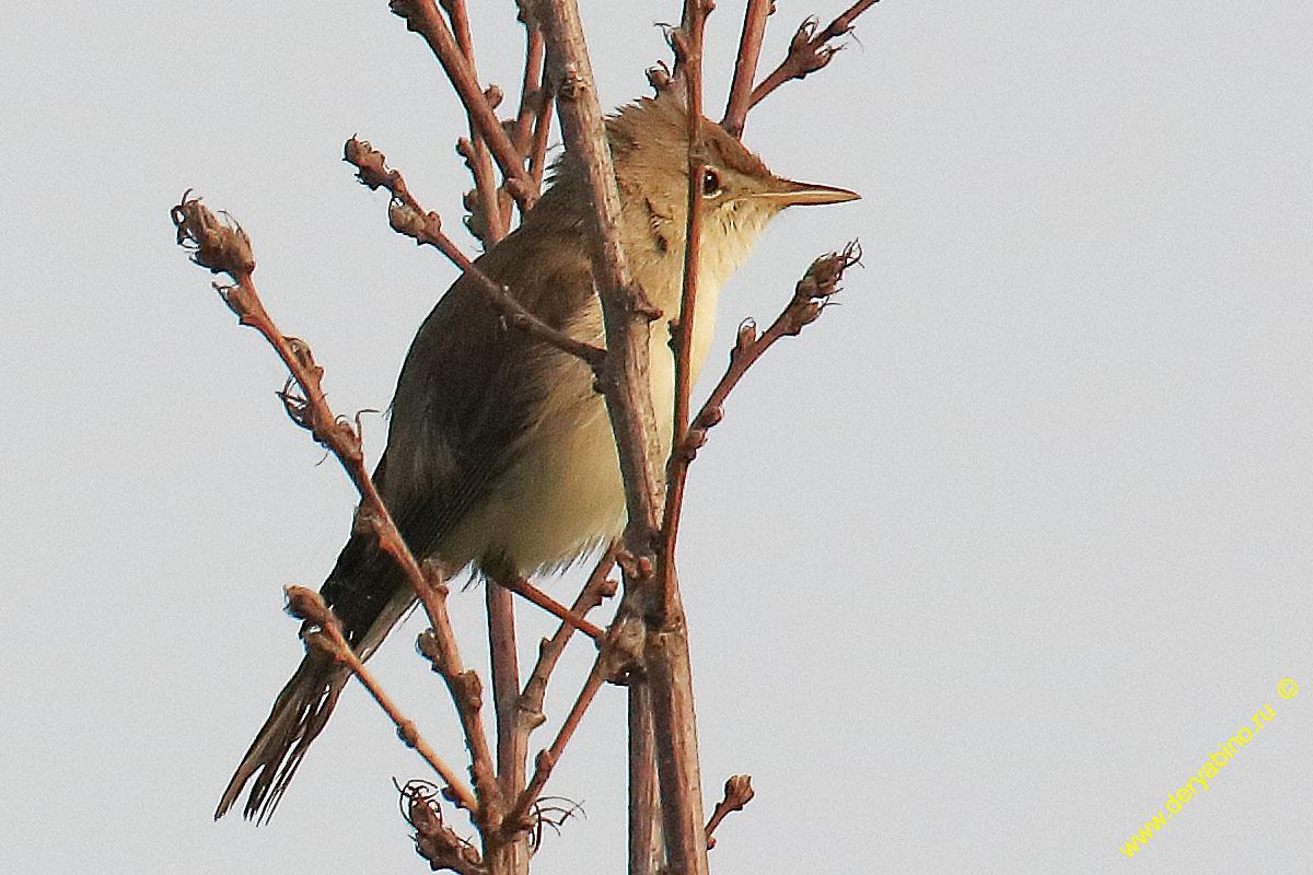 Бледная пересмешка Iduna pallida Eastern olivaceous warbler