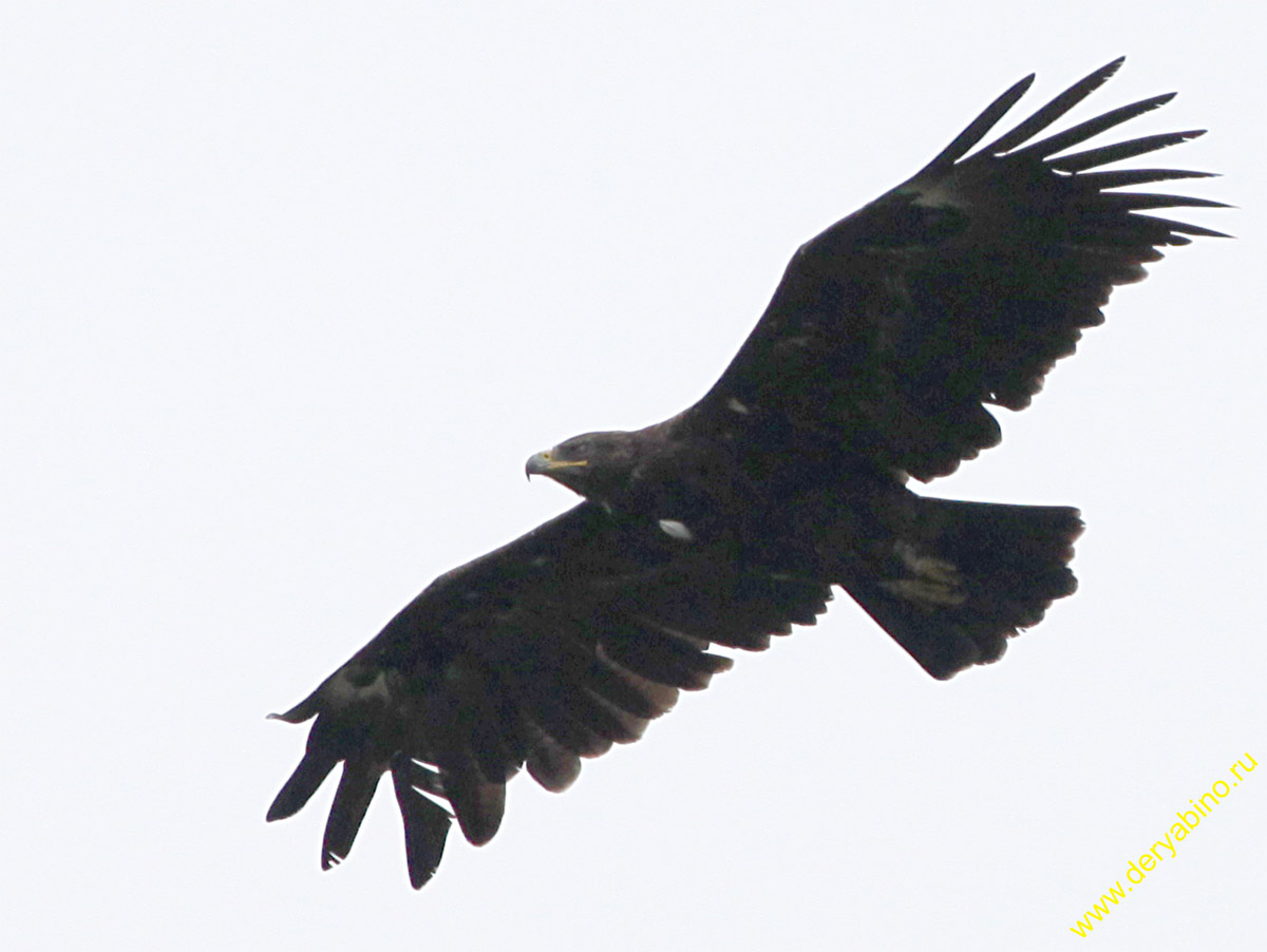 Большой подорлик Aquila clanga Greater Spotted Eagle