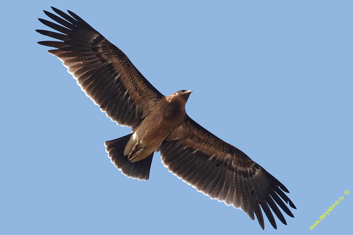 Большой подорлик Aquila clanga Greater Spotted Eagle