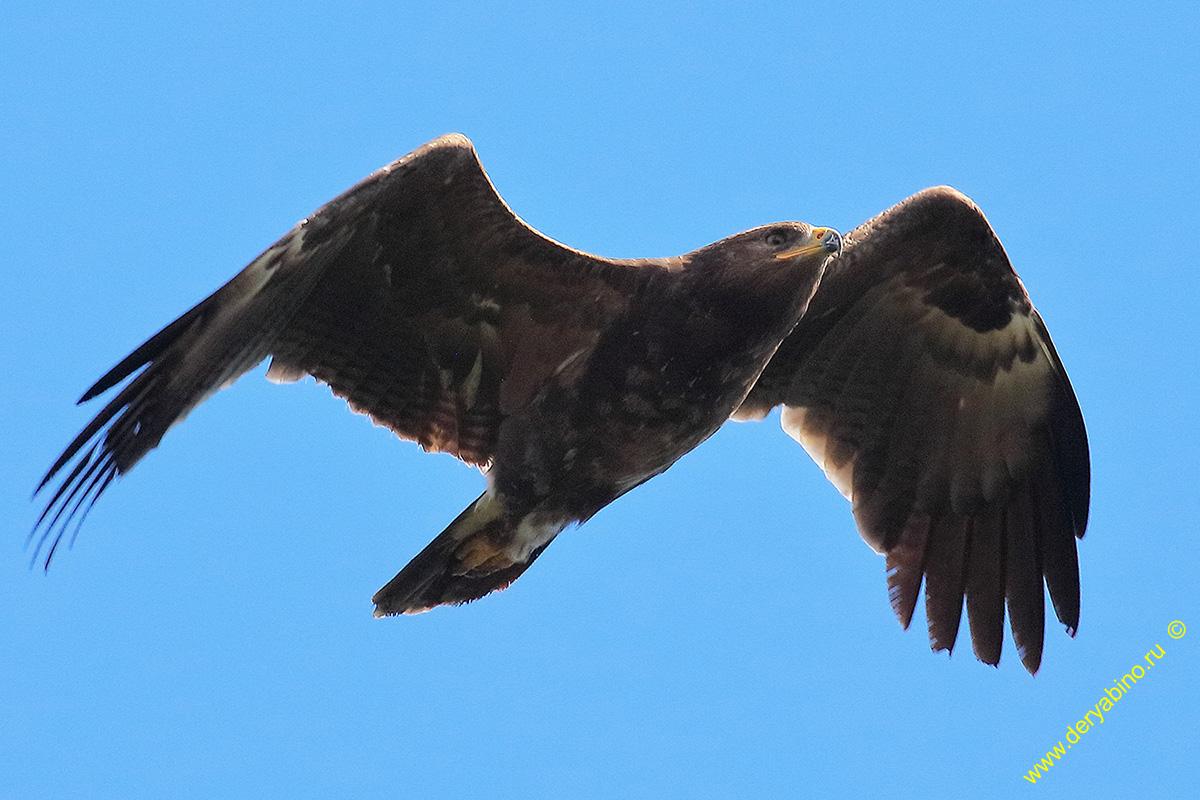 Малый подорлик Aquila pomarina Lesser Spotted Eagle