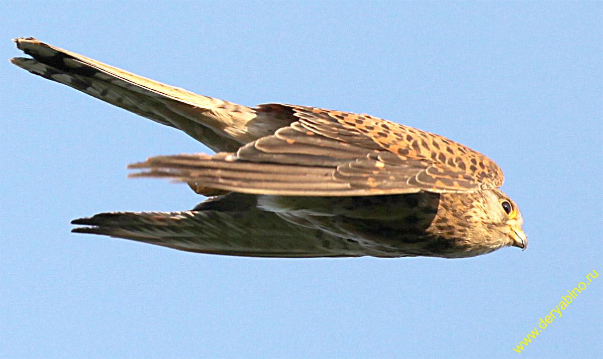 Пустельга Falco tinnunculus Common Kestrel