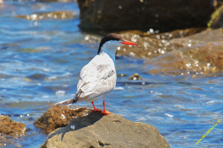 Речная крачка Sterna hirundo Common Tern
