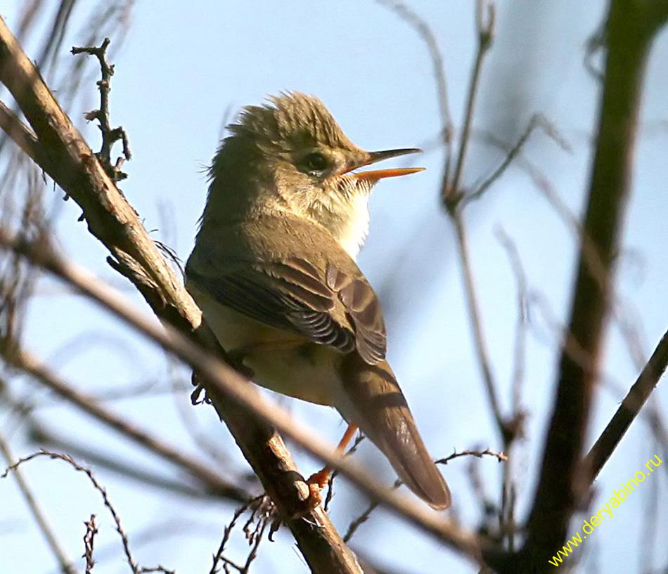 Садовая камышевка Acrocephalus dumetorum Blyth's Reed Warbler