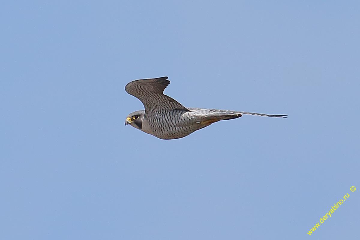 Сапсан Falco peregrinus Peregrine Falcon