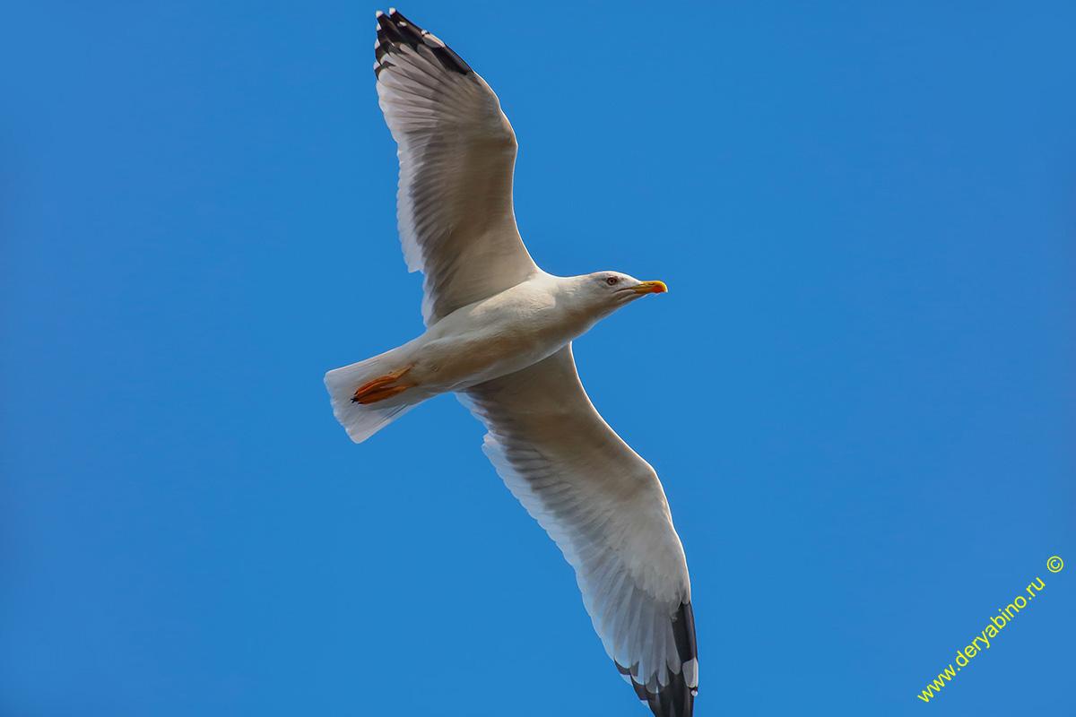 Серебристая чайка Larus argentatus Herring Gull
