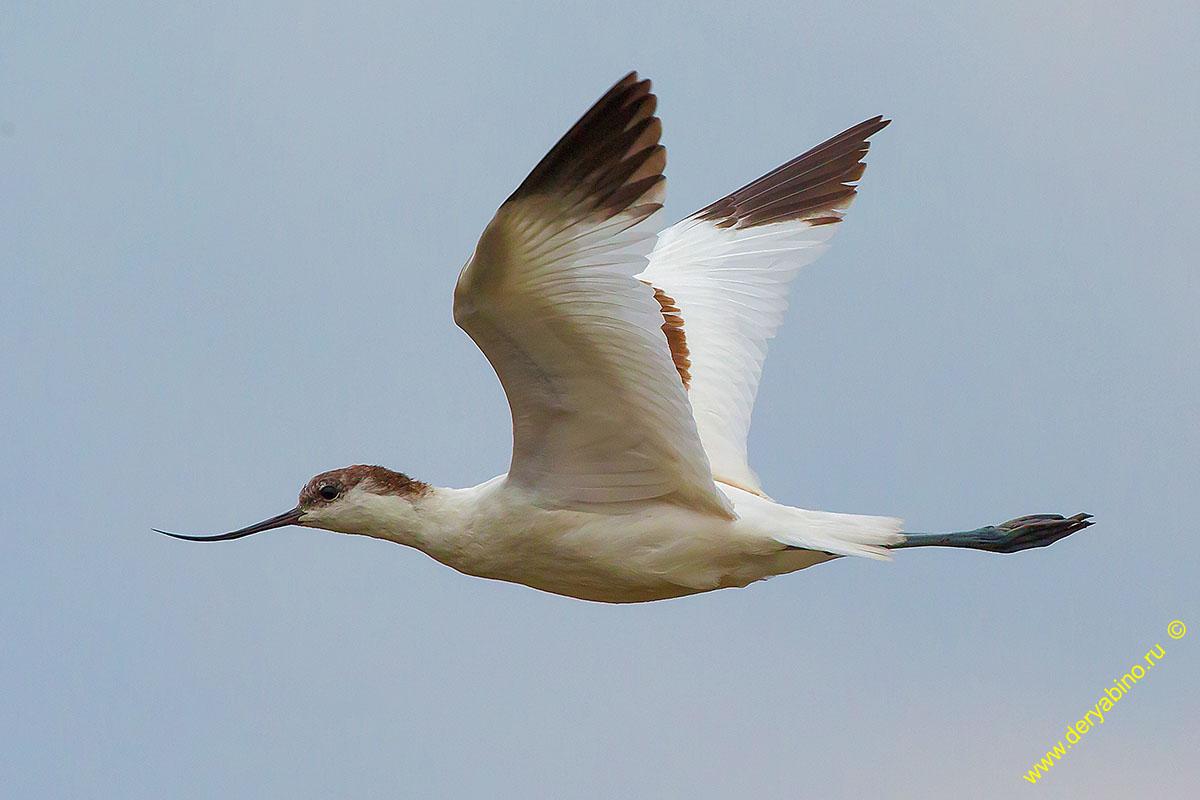 Шилоклювка Recurvirostra avosetta Pied avocet