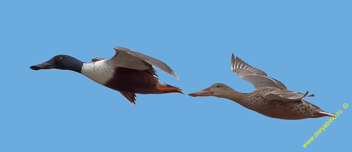 Широконоска Anas clypeata Northern Shoveler