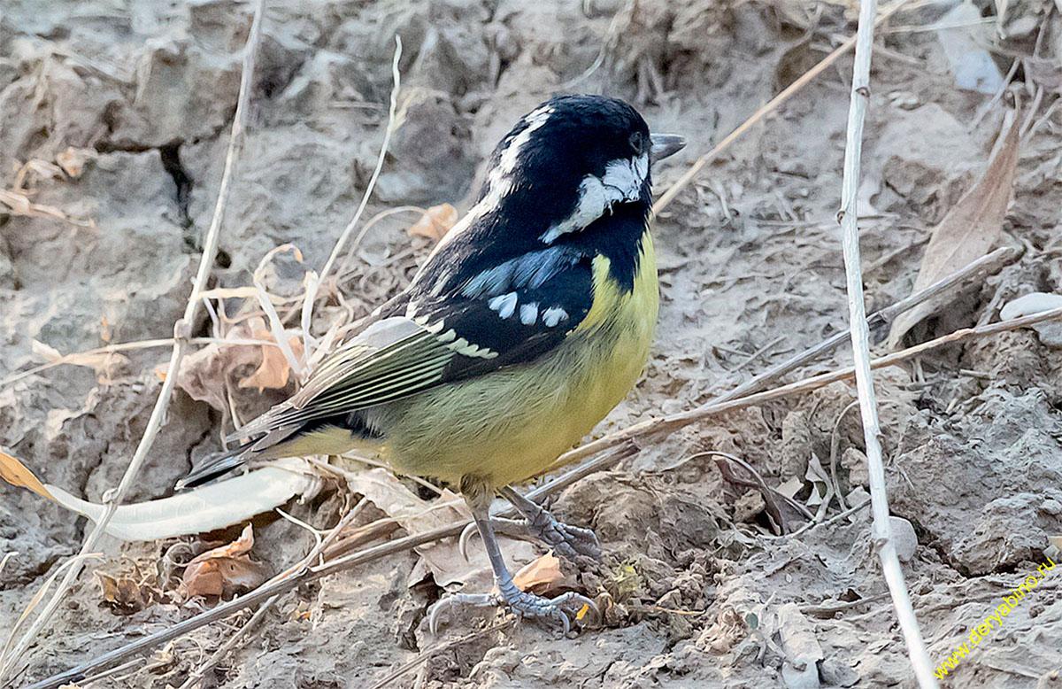 Синица желтобрюхая Parus venustulus Yellow-bellied tit
