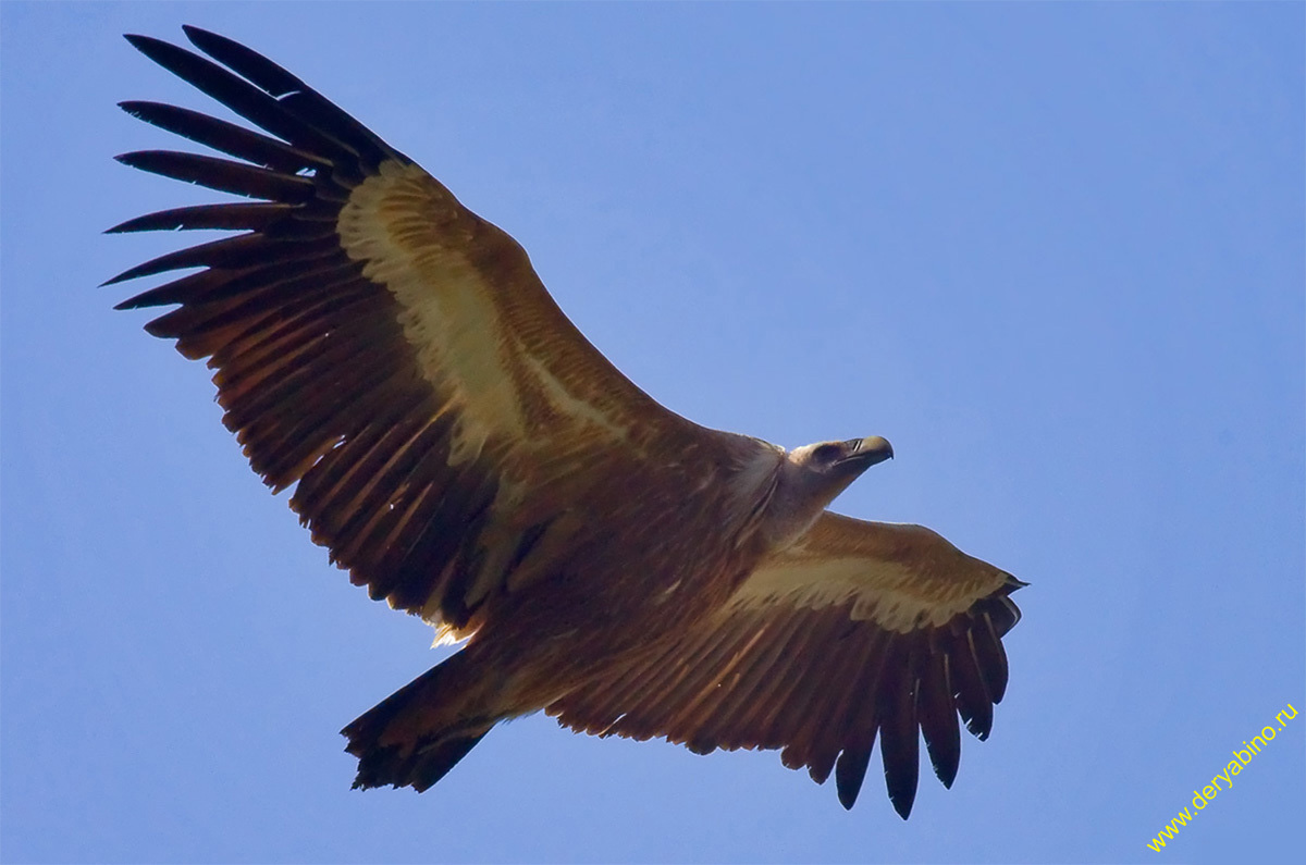 Белоголовый сип Gyps fulvus Griffon Vulture