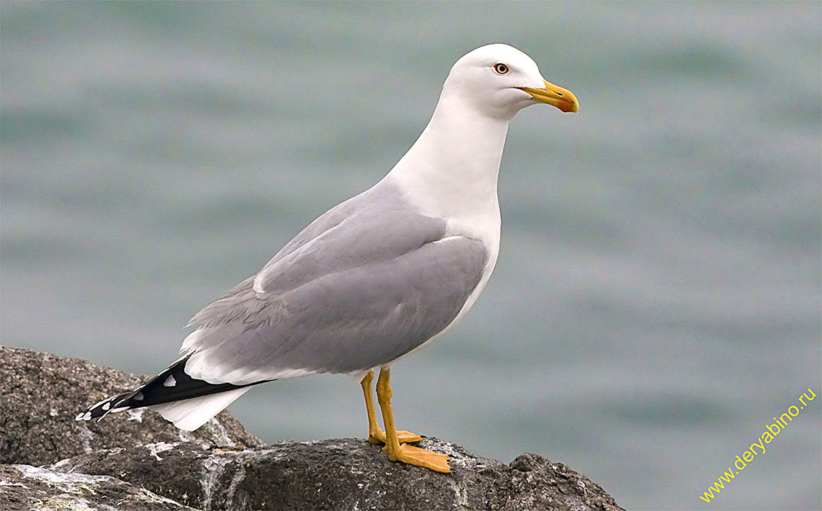 Сизая чайка Larus canus Mew gull