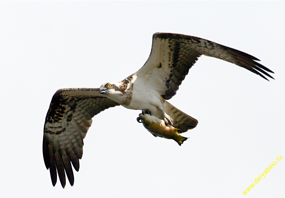 Скопа Pandion haliaetus Osprey