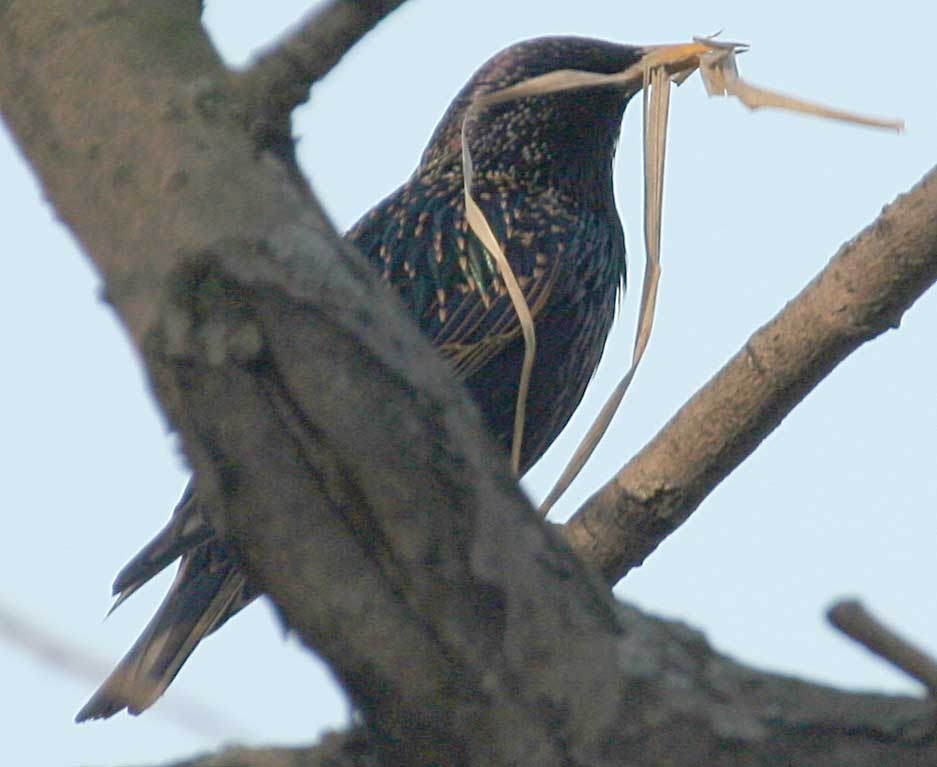 Скворец Sturnus vulgaris Europaen Starling