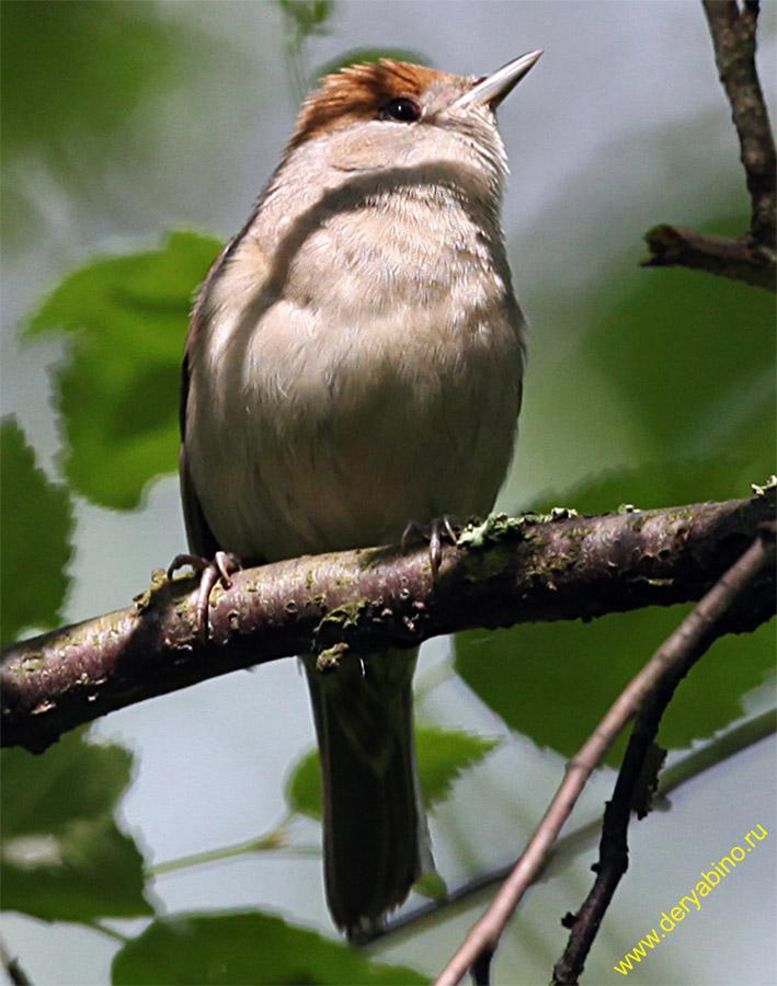 Черноголовая славка Sylvia atricapilla Blackcap