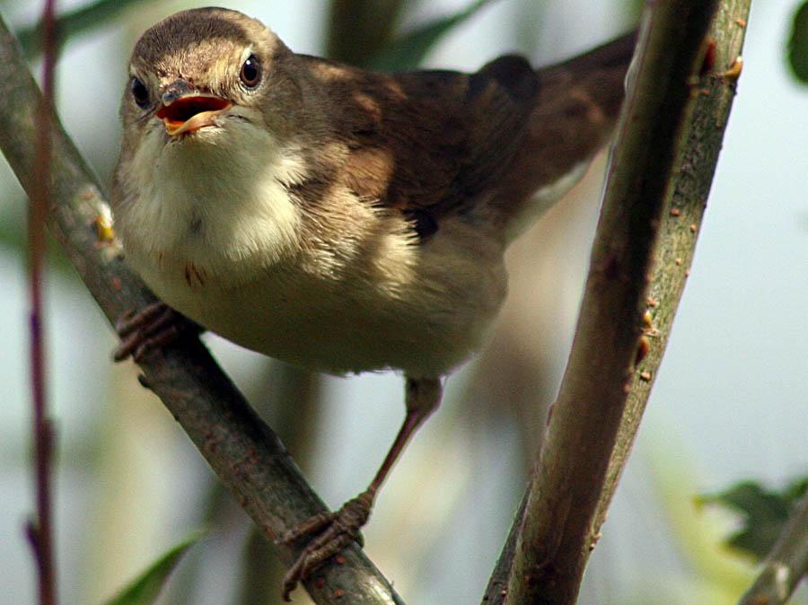 Садовая славка Sylvia borin Garden Warbler