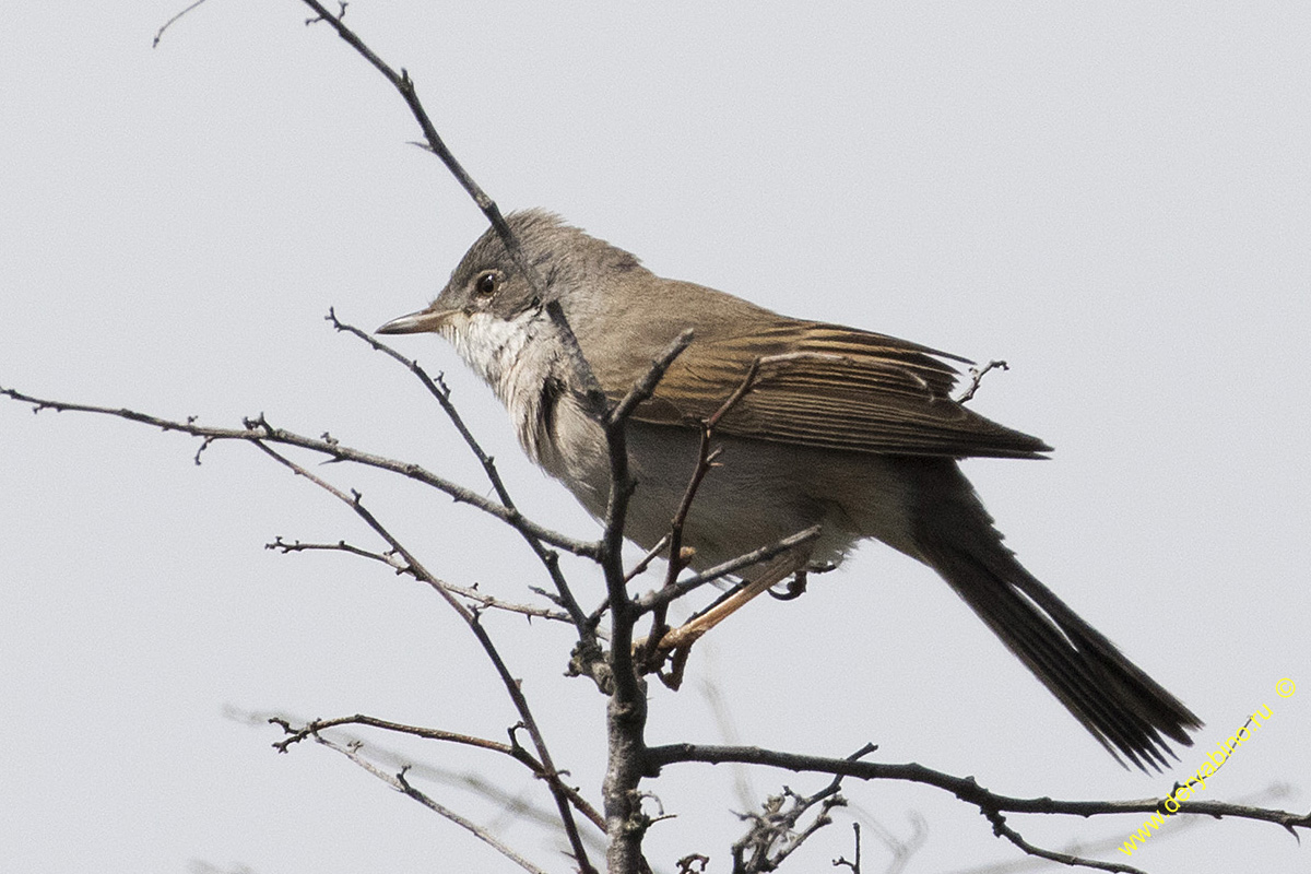 Славка серая Sylvia communis Greater Whitethroat