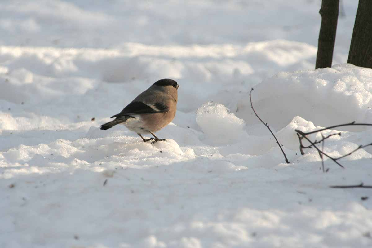 Снегирь Pyrrhula pyrrhula Eurasian Bullfinch