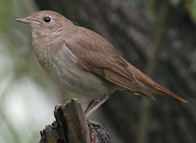 Соловей Luscinia luscinia Thrush Nightingale