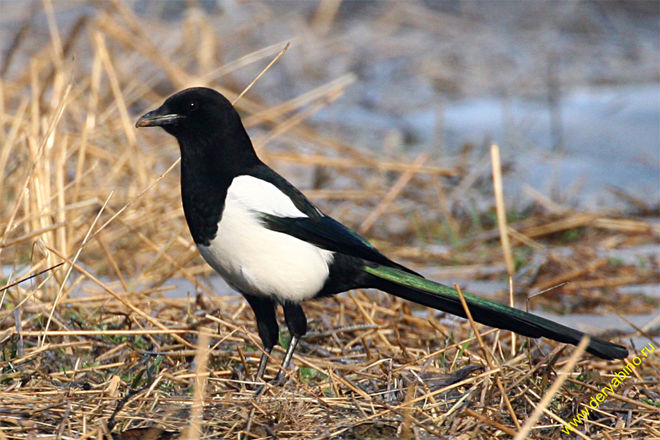 Сорока Pica Pica Common Magpie