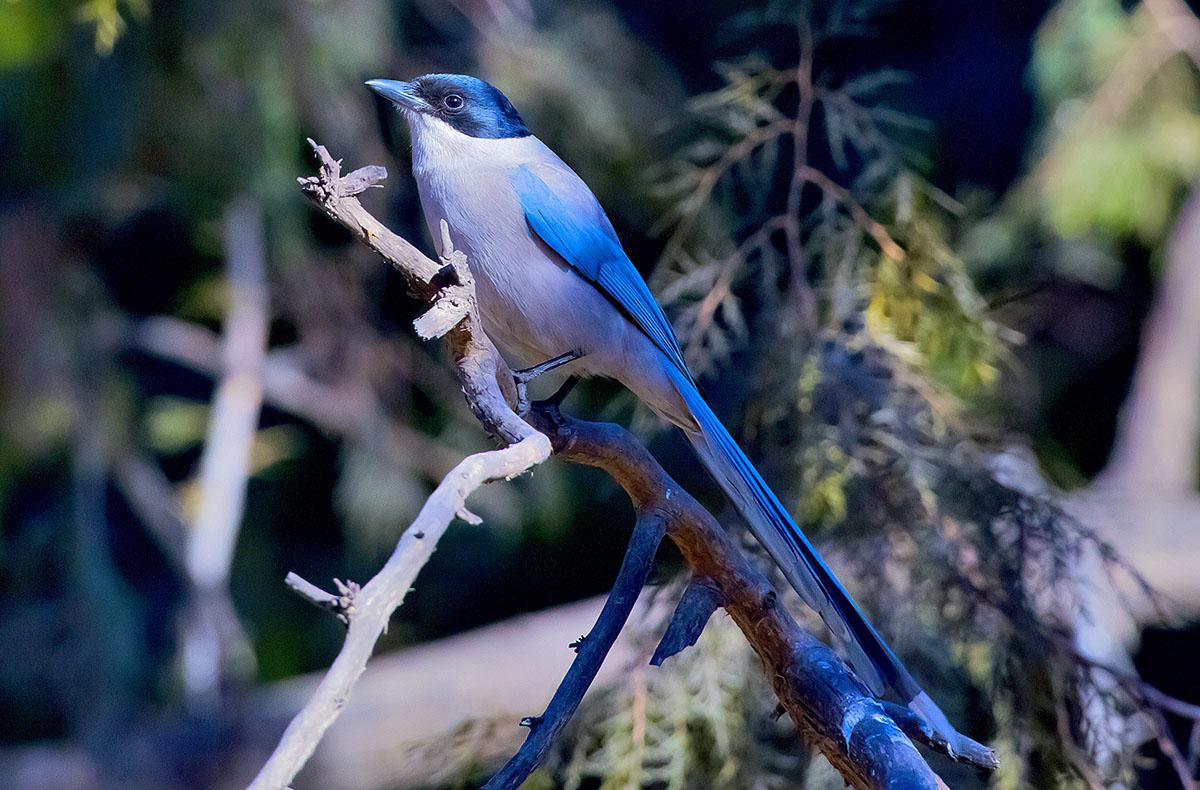 Голубая сорока Cyanopica cyana Azure-winged magpie