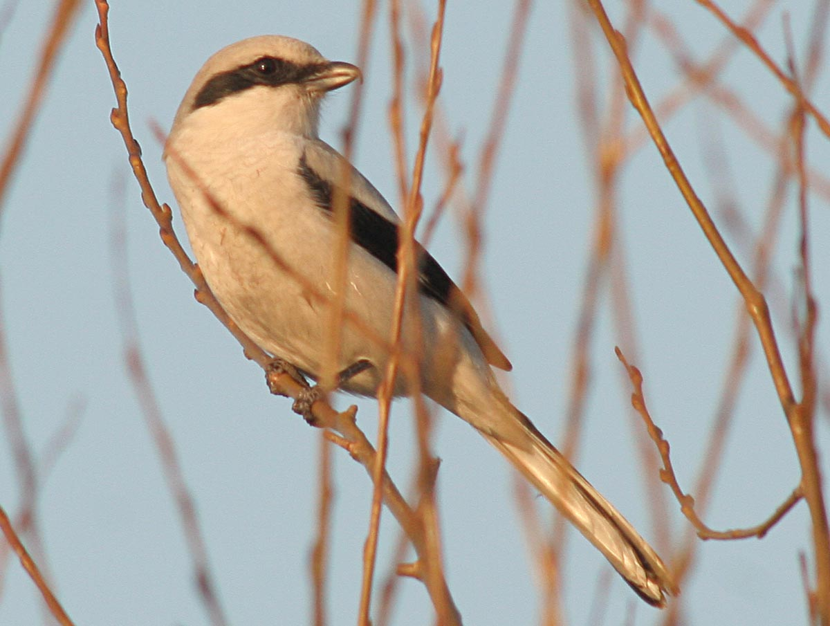 Сорокопут серый Lanius excubitor Great Grey Shrike