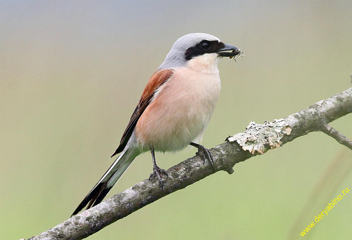 Сорокопут-жулан Lanius collurio Red-backed Shrike