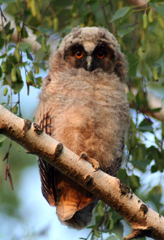 Ушастая сова Asio otus Long-eared Owl