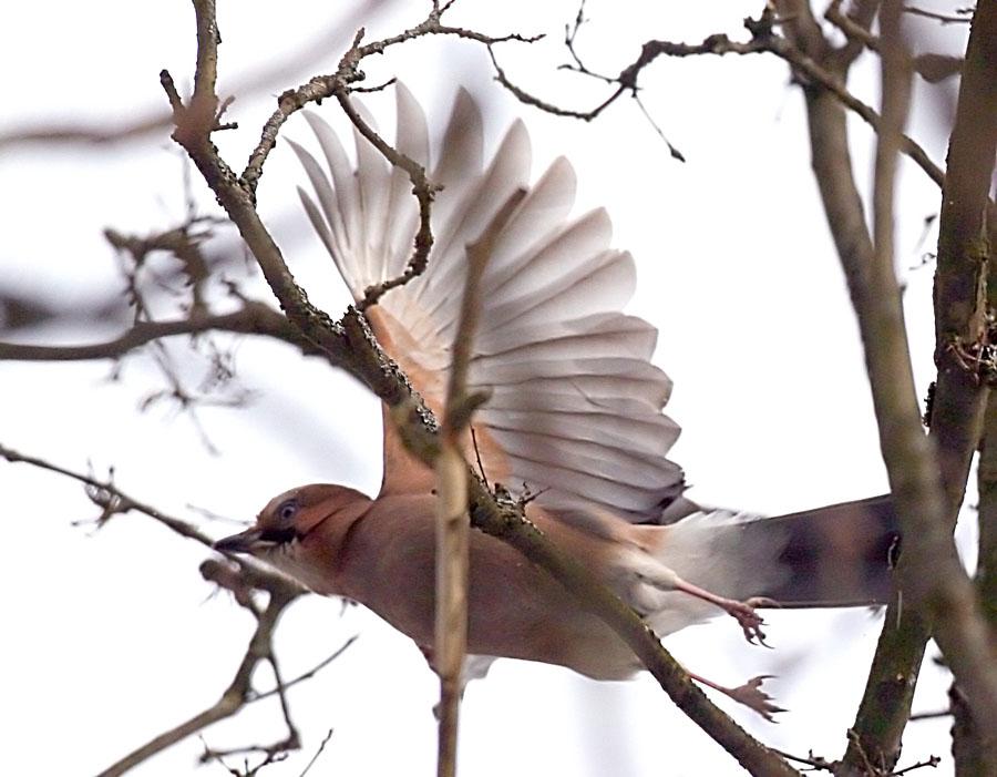 Сойка Garrulus glandarius Eurasian Jay